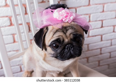 Funny and cute dog pug sits on a chair in a pink hat in front of a white brick wall. Selective focus. Toned image.