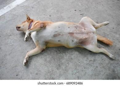 Funny cute fat dog sleeping upside down on cement floor.