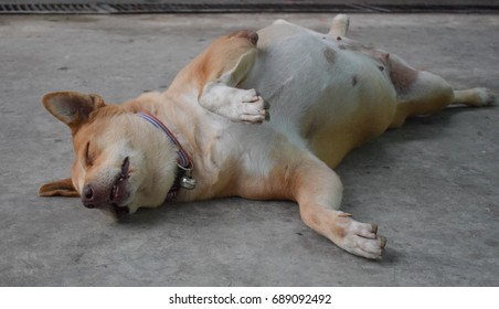 Funny cute fat dog sleeping upside down  with smiling eyes and lying on cement floor, Because it's sweet dream.