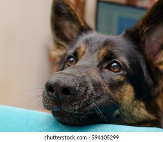Funny cute German shepherd at home (shallow DOF, selective focus on the dog nose)