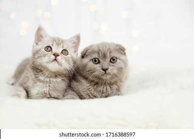 Funny cute kittens on the white background with light.Scottish fold cat.Copy space