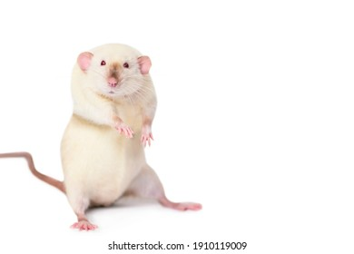funny cute mouse looks with interest, background