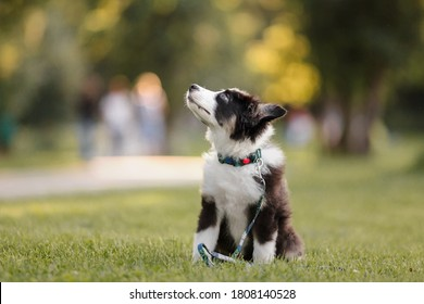 funny and cute portrait puppy Aussies or Australian shepherd