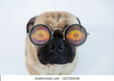 Funny and cute pug dog wearing silly glasses