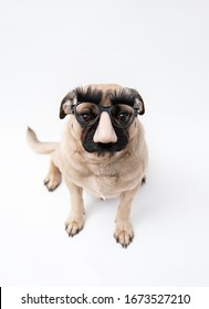 Funny, cute pug dog wearing joke glasses with a big nose, eyebrows and moustache