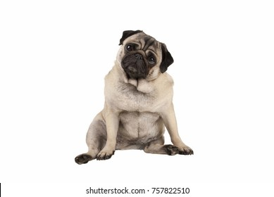funny cute pug puppy dog, sitting down, looking amazed, isolated on white background
