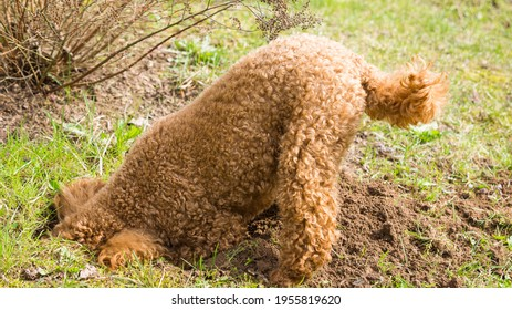funny cute puppy poodle dog digging a hole in the ground and sticking its nose and head into it with green grass and shrub background