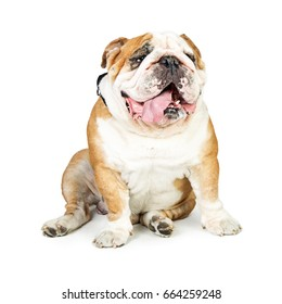 Funny and cute purebred English Bulldog sitting down on white with happy expression and tongue hanging out