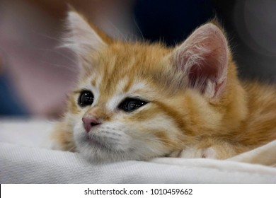 Funny cute red kitten. Ginger red kitten thinking. Long haired red kitten. Sweet adorable sad red kitten on sofa background. Little baby cat looking on camera small blue eyes. Tiny kitty alone at home