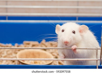 Funny cute white rat in a cage (shallow DOF, selective focus on the rat eyes)