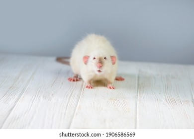 funny cute white rat looks with interest, background
