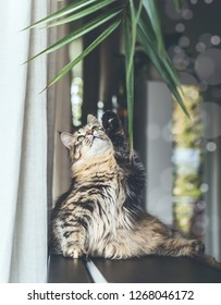 Funny cute young cat playing with hanging home plant leaves in living room. Fluffy Purebred Siberian cat