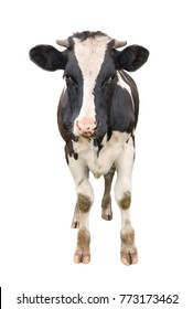 Funny cute young cow full length isolated on white. Looking at the camera black and white curious spotted cow close up. Funny cow muzzle close up. Farm animals.