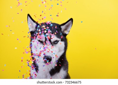funny cynical disagreeable Siberian husky breed dog on a yellow background under a hail of confetti, the end of dog emotions, humor, sarcasm