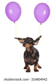 funny dachshund dog with ears tied to balloons