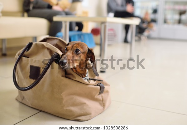funny dachshund dog sits in a bag