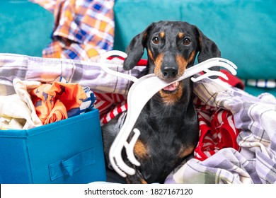 Funny dachshund dog sorts things in the wardrobe, sits in pile of clothes with hanger in his teeth and thinks what to wear to an important event