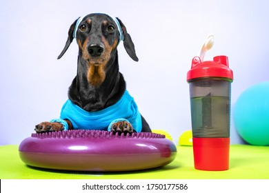 Funny dachshund dog in sports uniform with soft hair band on head to protect face from sweat lies on silicone balancing disk and is going to do fitness, plastic bottle of water is nearby, front view