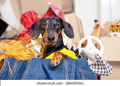 Funny dachshund hoarder sits in cardboard box with useless things that it collects. Dog is preparing to move or sorting stuff for storage in small apartment. Gathering old clothes for charity