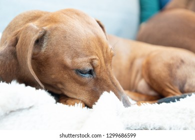 Funny dachshund lying with closed eyes on white plaid closeup