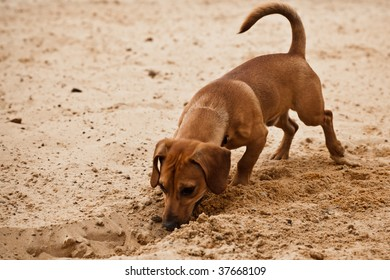 Funny dachshund puppy is digging hole on beach sand