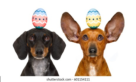 funny dachshund sausage dogs easter bunny   with egg on head , looking up, isolated on white background