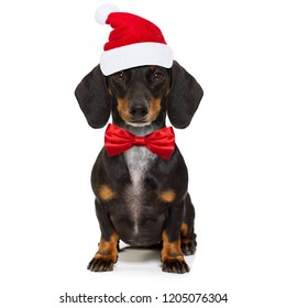funny dachshund sausage  santa claus dog on christmas season holidays wearing red holiday hat, isolated on white background
