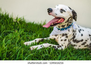 Funny dalmatian dog looks happy