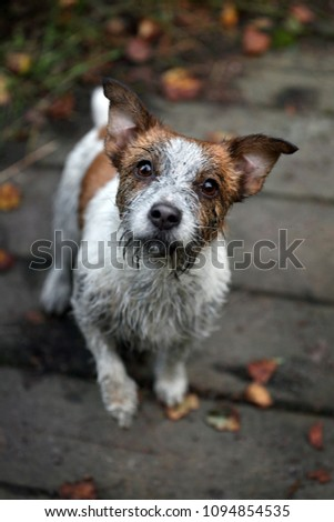 Funny Dirty Dog Jack Russell Terrier Stockfoto Jetzt Bearbeiten