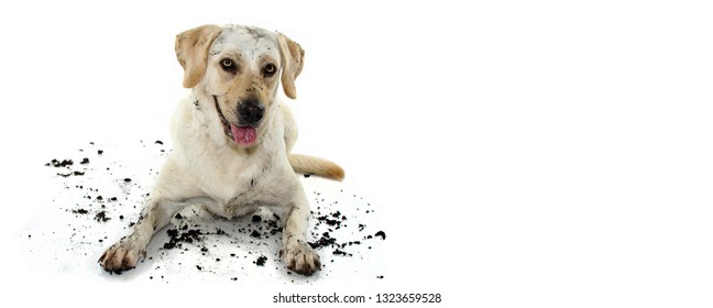 FUNNY DIRTY MIXEDBRED GOLDEN OR LABRADOR RETRIEVER AND MASTIFF DOG, AFTER PLAY IN A MUD PUDDLE, MAKING GUILTY FACE. ISOLATED AGAINST WHITE BACKGROUND. STUDIO SHOT WITH COPY SPACE.