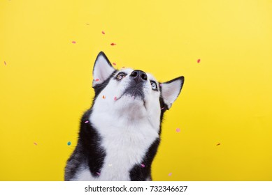 funny disparate dog breed Siberian husky on a yellow background under a hail of confetti, the concept of dog emotions, humor, sarcasm