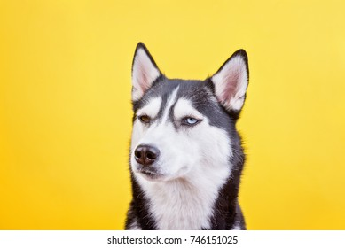 Funny dissatisfied bi-eyed husky on a yellow studio background, the concept of dog emotions