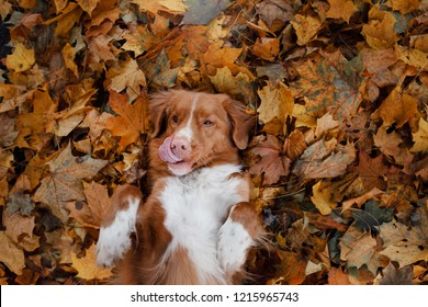 Funny dog in the autumn in the leaves. Cute pet. Nova Scotia Duck Tolling Retriever, Toller. Masking
