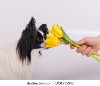 Funny dog with big shaggy black ears sniffs a bouquet of yellow tulips on a white background