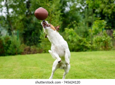 Funny dog catching Rugby ball at backyard lawn