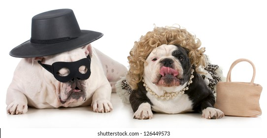 funny dog couple - english bulldogs dressed up in funny man and woman costumes isolated on white background