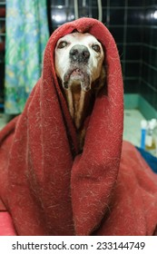 Funny dog covered with a dirty blanket and looking very silly and proud