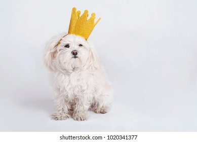 funny dog with crown on white background