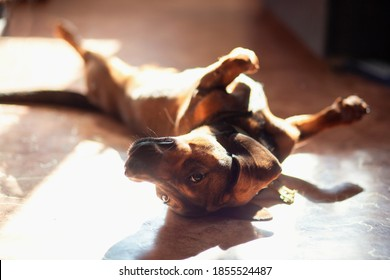 A funny dog of the Dachshund breed lies at home on the floor with its paws up