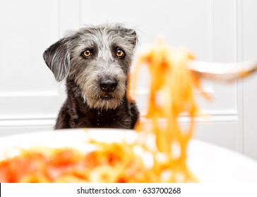 Funny dog drooling while watching person eat food.