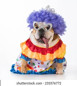 funny dog - english bulldog dressed up as a clown on white background