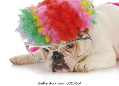 funny dog - english bulldog wearing clown wig and glasses on white background