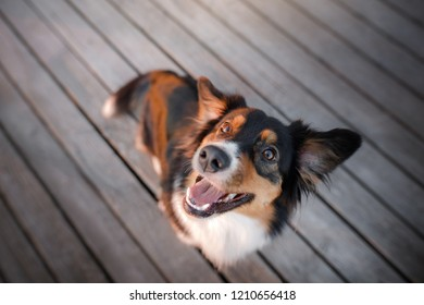 funny dog face. Australian shepherd portrait. Happy pet