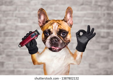 funny dog ginger french bulldog barber hold hair clipper. Man on a white brick wall background