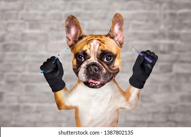 funny dog ginger french bulldog groomer hold brush and razor in morning to wash and brush your teeth. Man on a white brick wall background