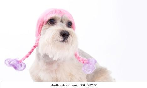 funny dog , hair style dog,afro hair style dog,long tongue ,sweet eyes