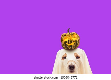 Funny dog in Halloween costume of ghost holding small pumpkin on head