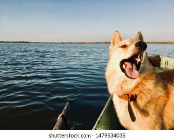 Funny dog husky on the boat near lake