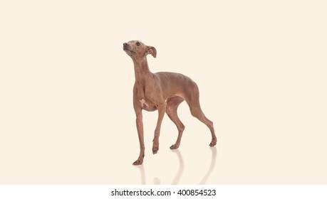 funny dog isolated over white background