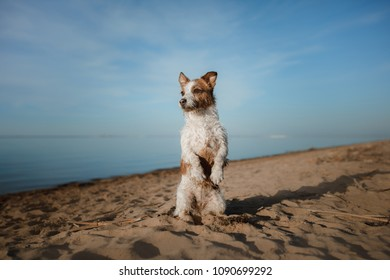 Funny dog Jack Russell Terrier on the sand on the beach. Summer and travel